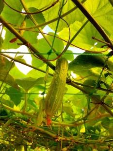Cucumber သခြါးသီးေတြလည္း အမ်ားၾကီးးး ဟိ