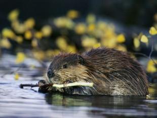 beaver_457_600x450